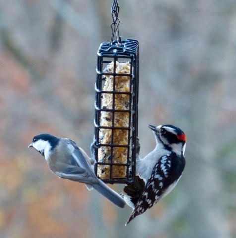 chickadee, downy woodpecker