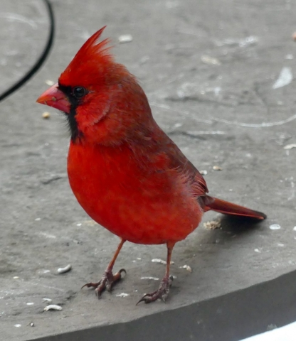 Male Cardinal taken by Abby
