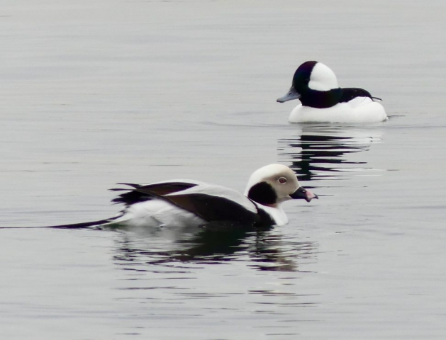 Long-tailed duck and Bufflehead