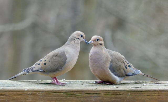mourning doves kissing