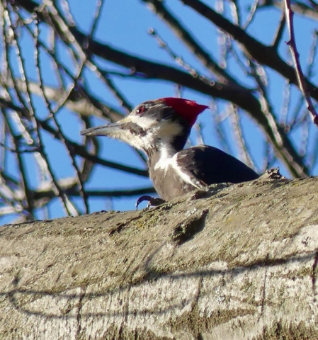 Playing peekaboo with a pileated woodpecker
