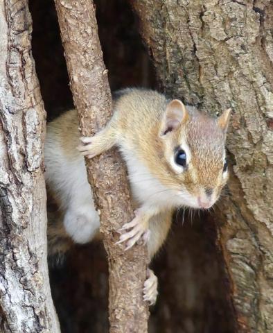 Chipmunk in hollow tree
