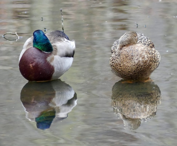 Male and female mallards napping reflections