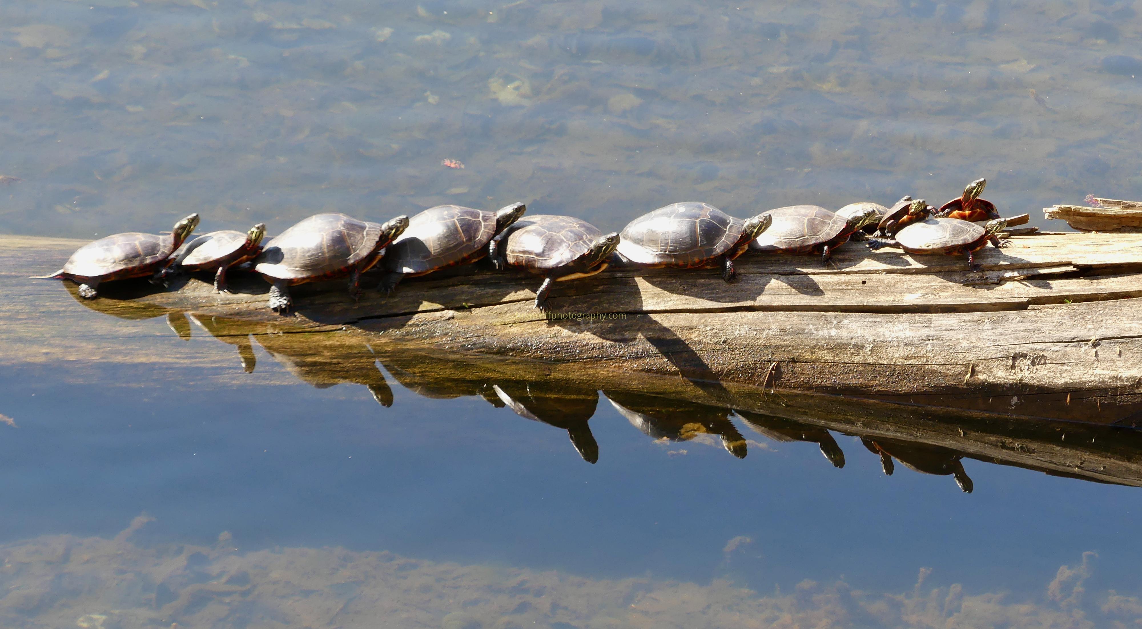 Ten turtles on log