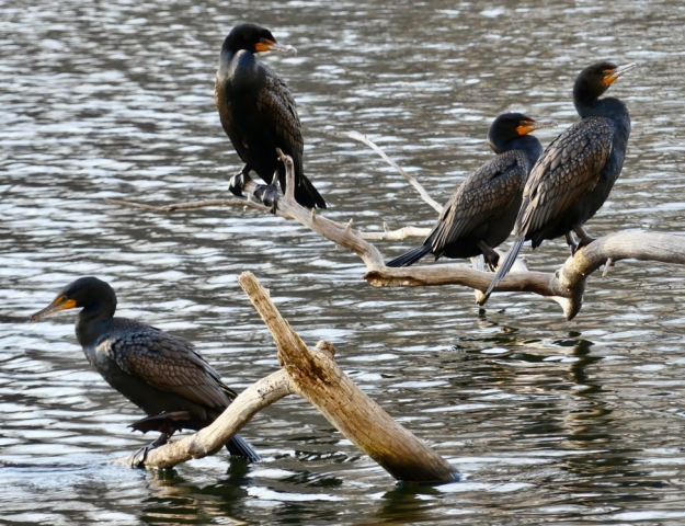 Four double-crested cormorants