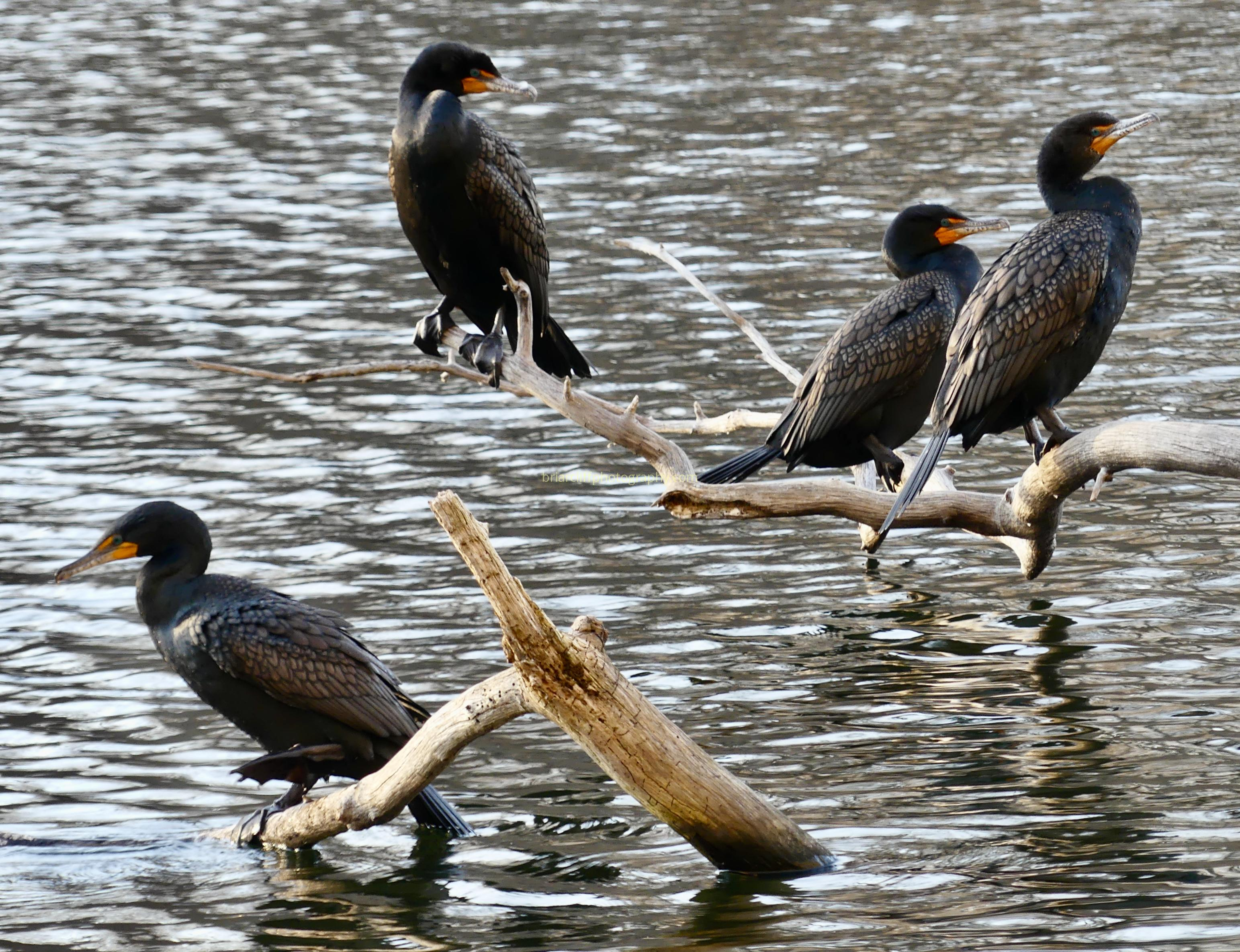 Four double-crested cormorants