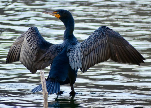 Cormorant with wings outstretched