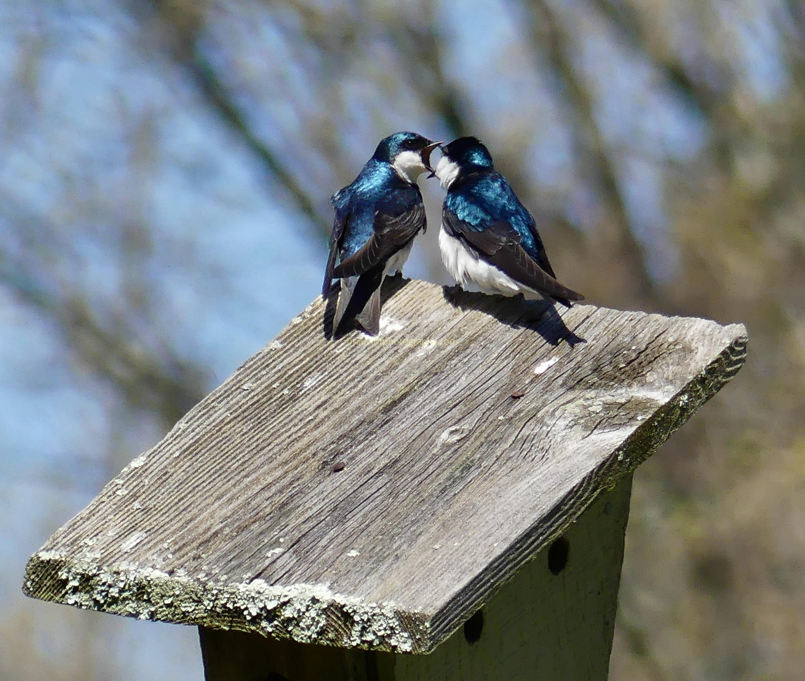 Two male tree swallows