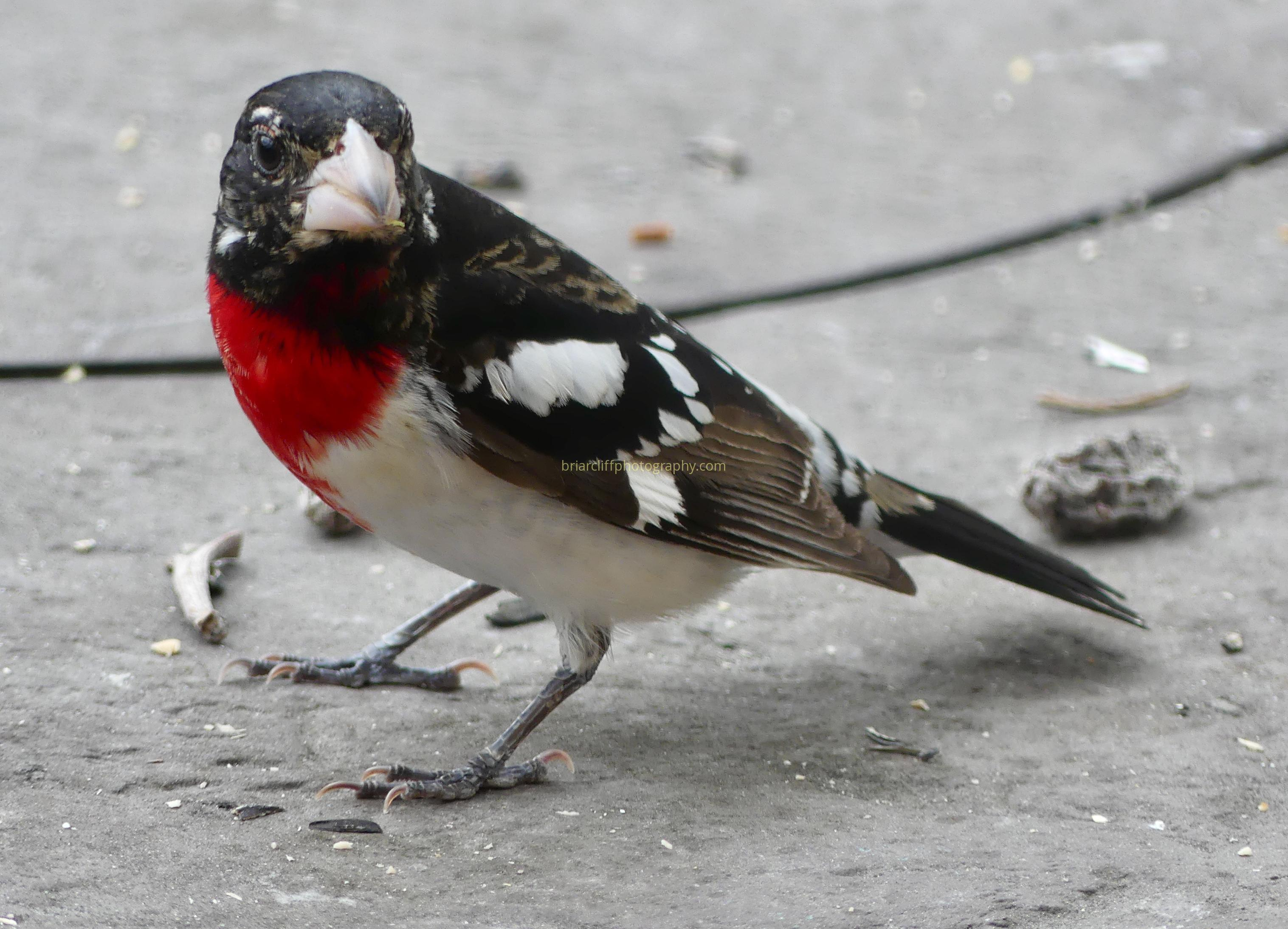 Male Red-breasted Grosbeak