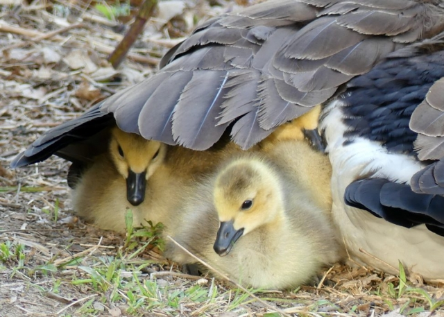 Three napping goslings