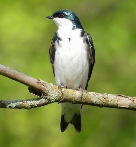 Tree swallow close-up
