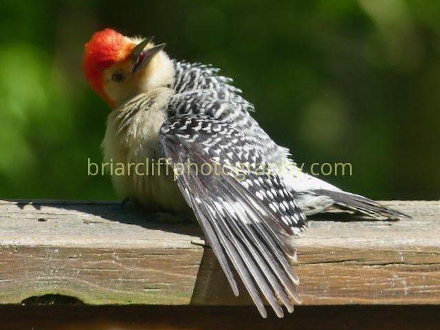 Red-belled woodpecker sunning