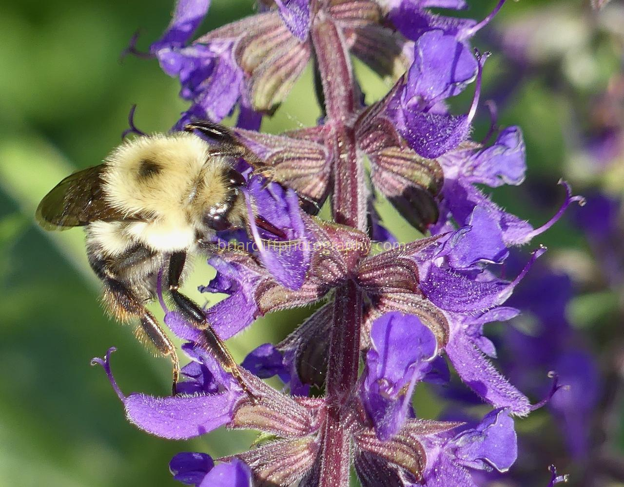 Bumble bee on salvia plant