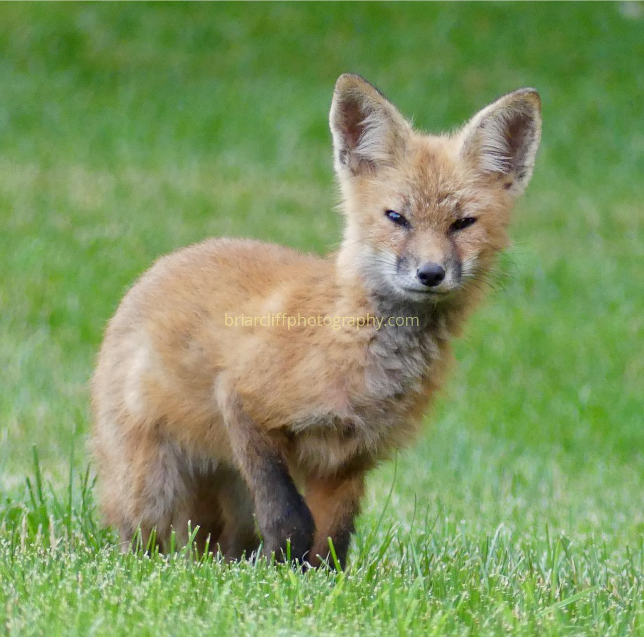 Fox cub 4