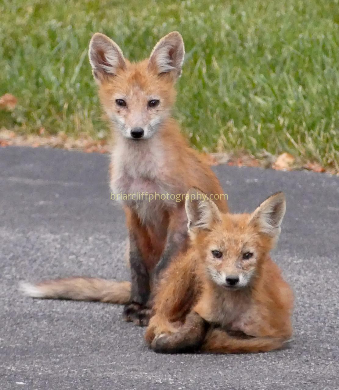 Fox cubs 5