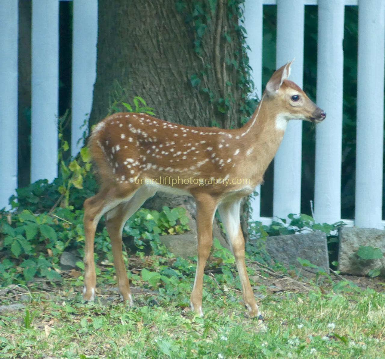 Baby white-tailed deer