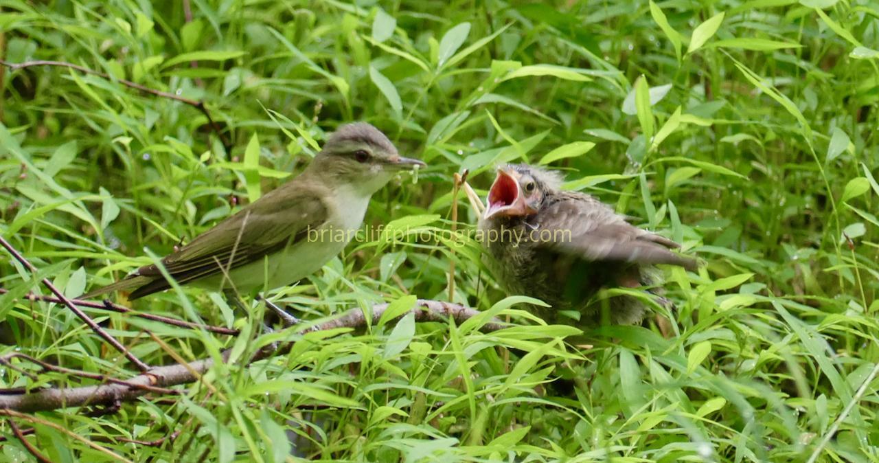 Red-eyed vireo feeding fledgling