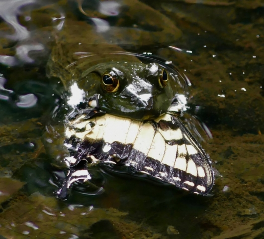 Frog eating swallowtail butterfly