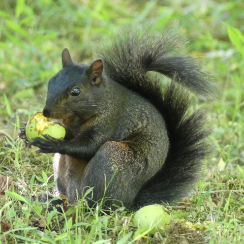 Black squirrel with treat