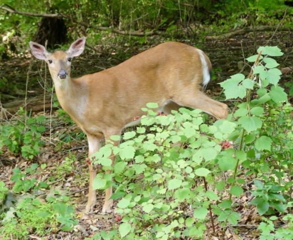 Female white-tailed deer