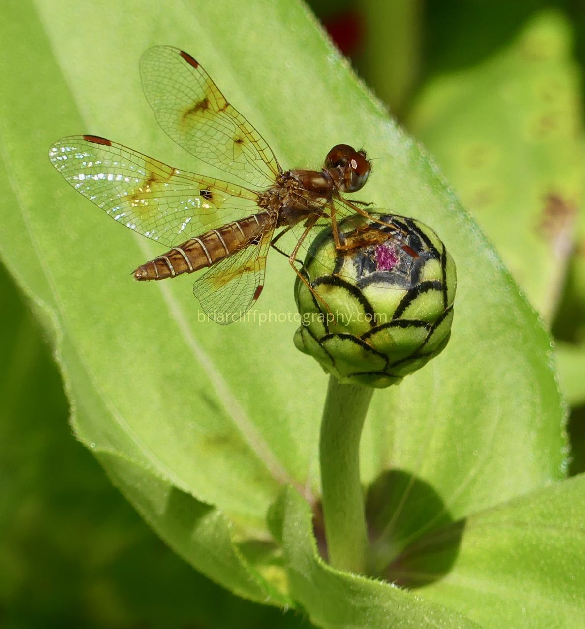 Dragonfly on zinnia bud
