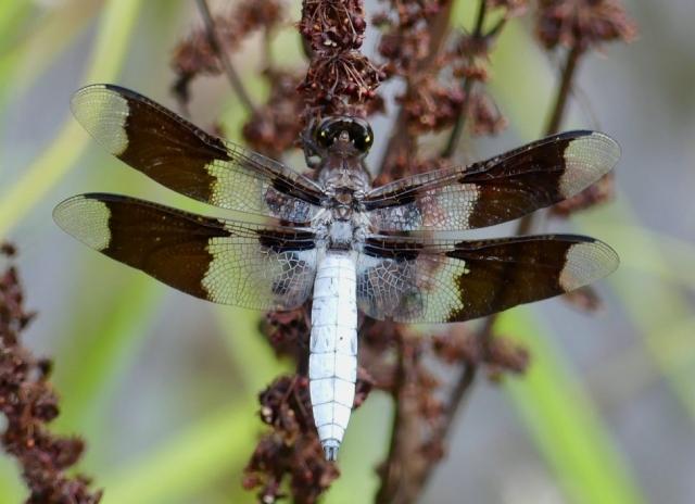 Common Whitetail Skimmer Dragonfly