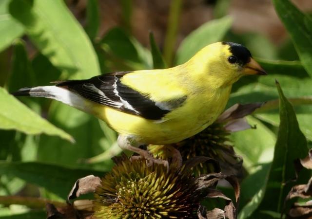 Male America Goldfinch