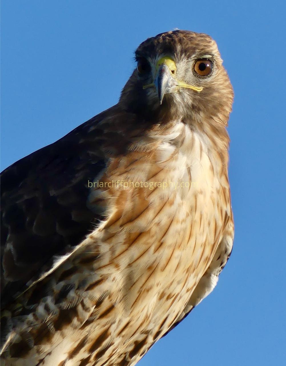 Red-tailed hawk front view