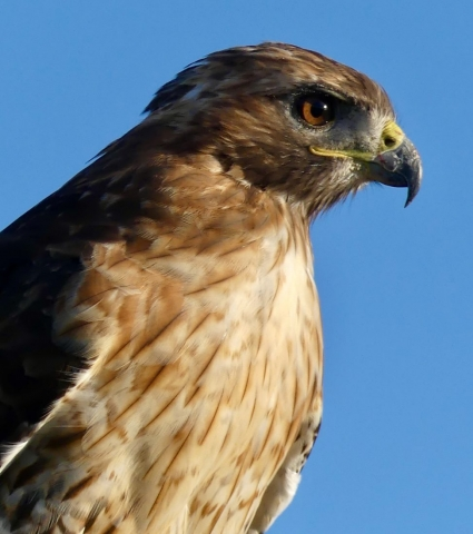 Red-tailed hawk close up