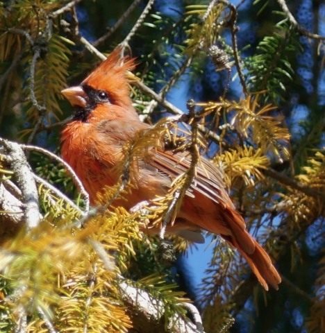 Cardinal in pine tree