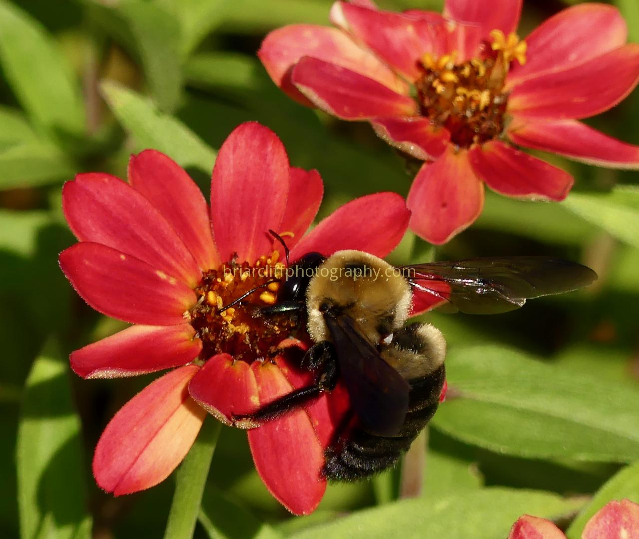 Brown-belted Bumble Bee on Zinnia