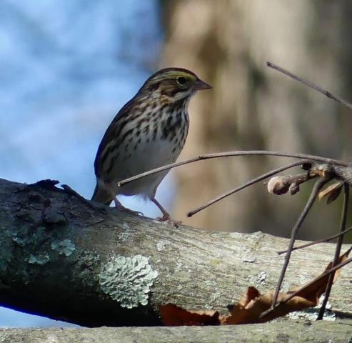 Savannah sparrow 1