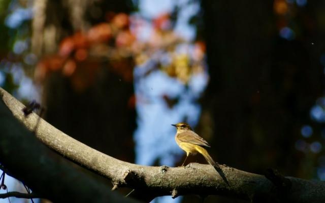 Palm Warbler 3