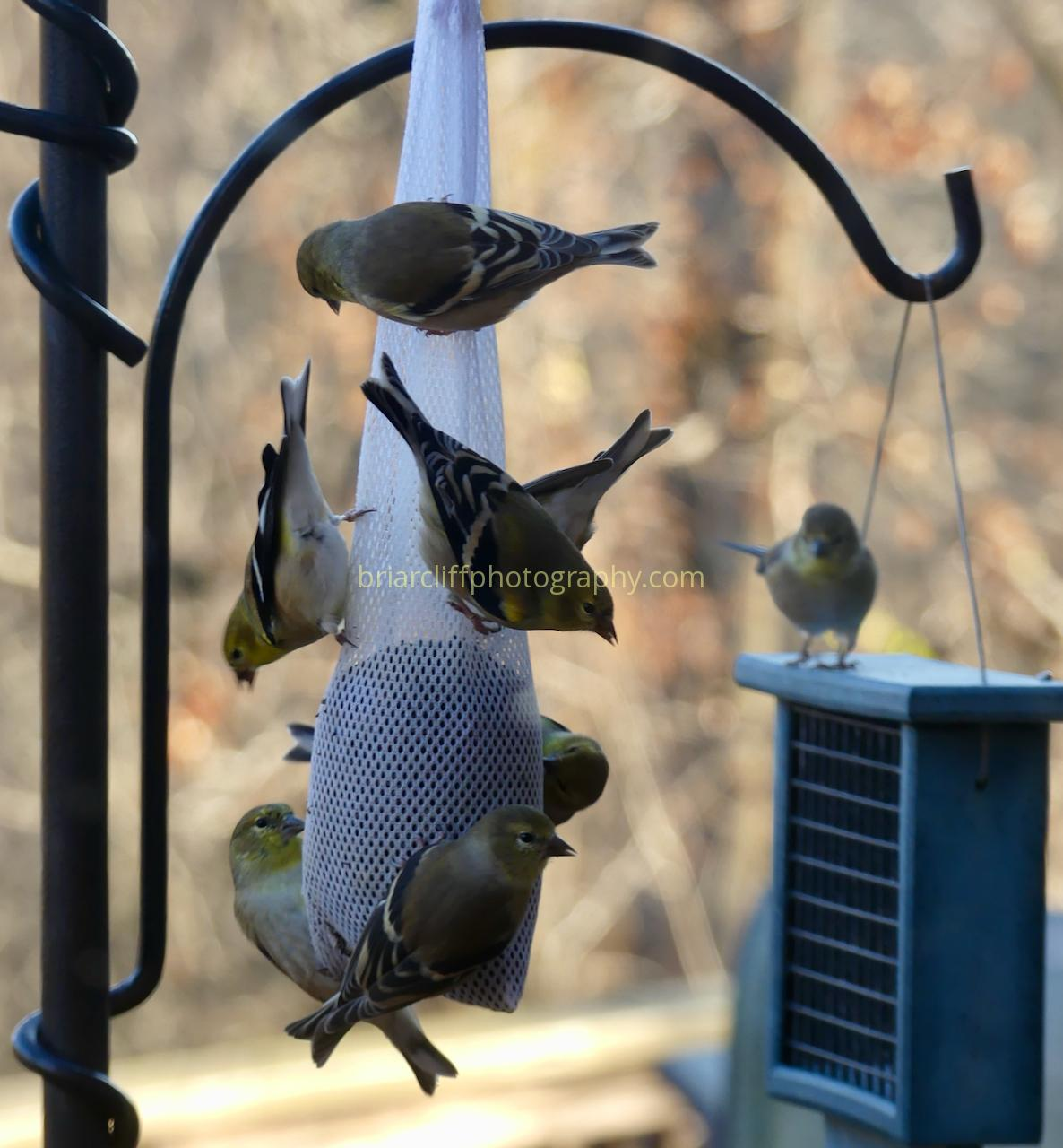 8 Goldfinches