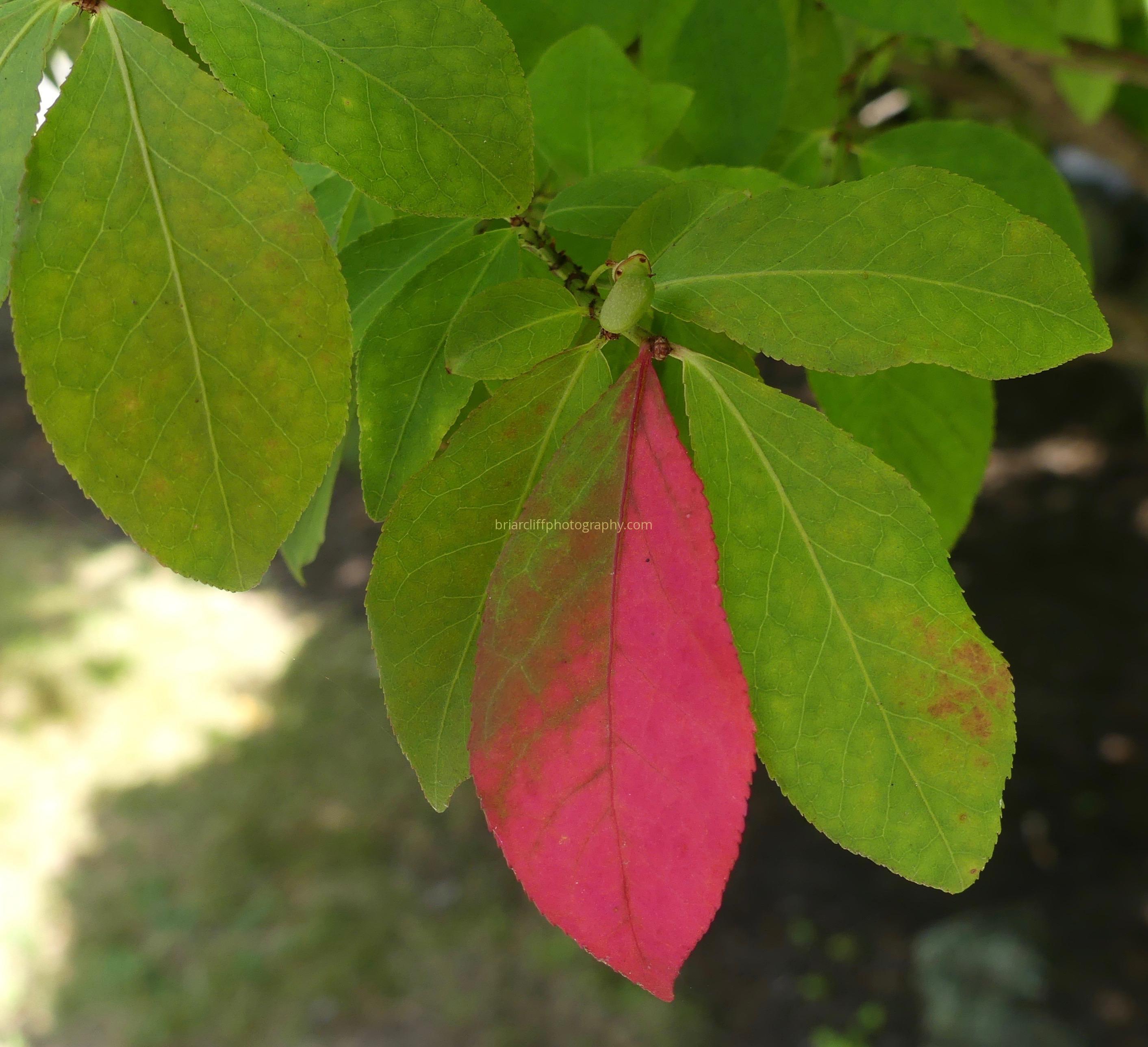 leaf, pink