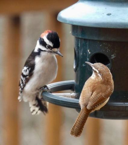 downy woodpecker, carolina wren