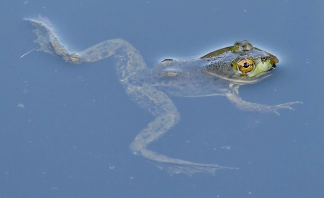 swimming frog