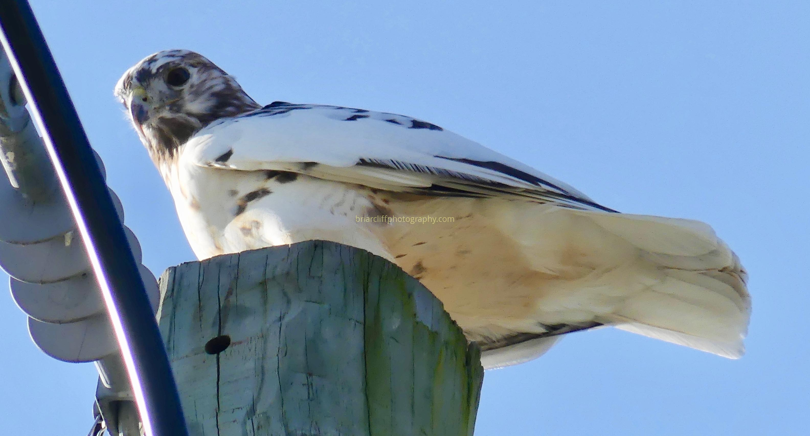 leucistic red-tailed hawk