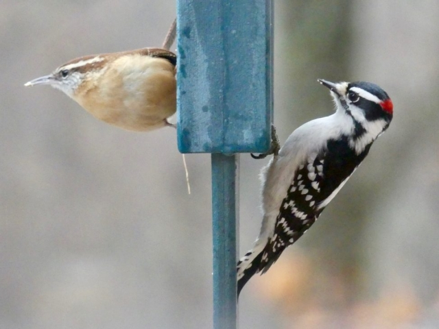 Carolina wren, downy woodpecker