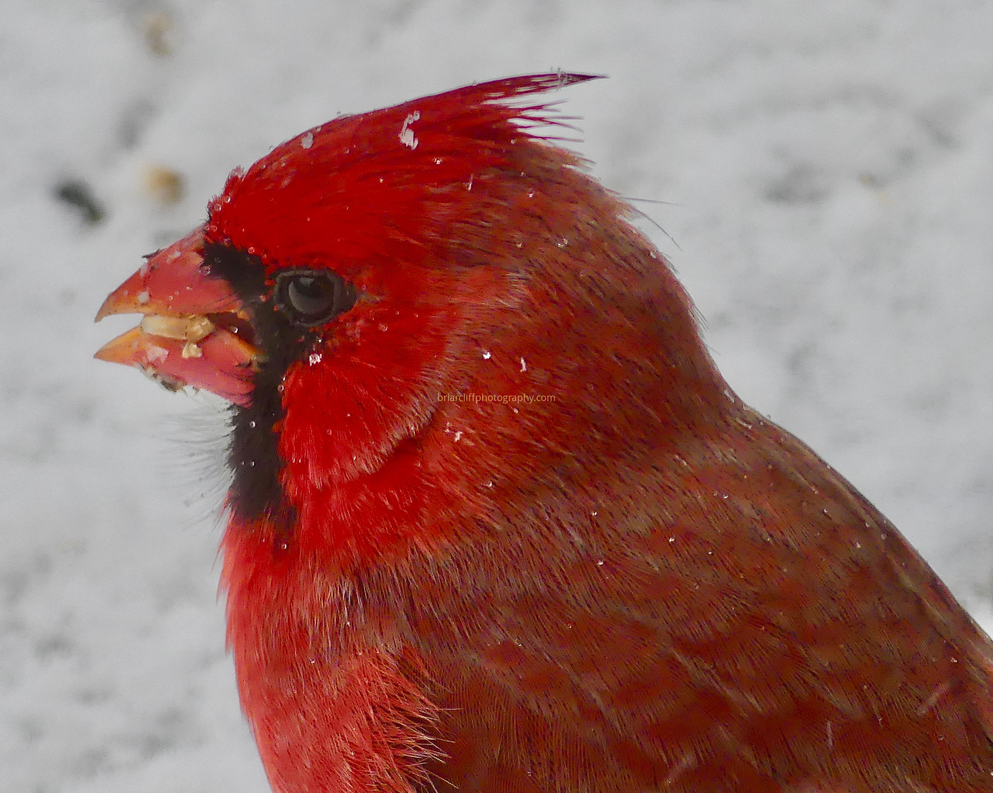 Cardinal close up in the snow
