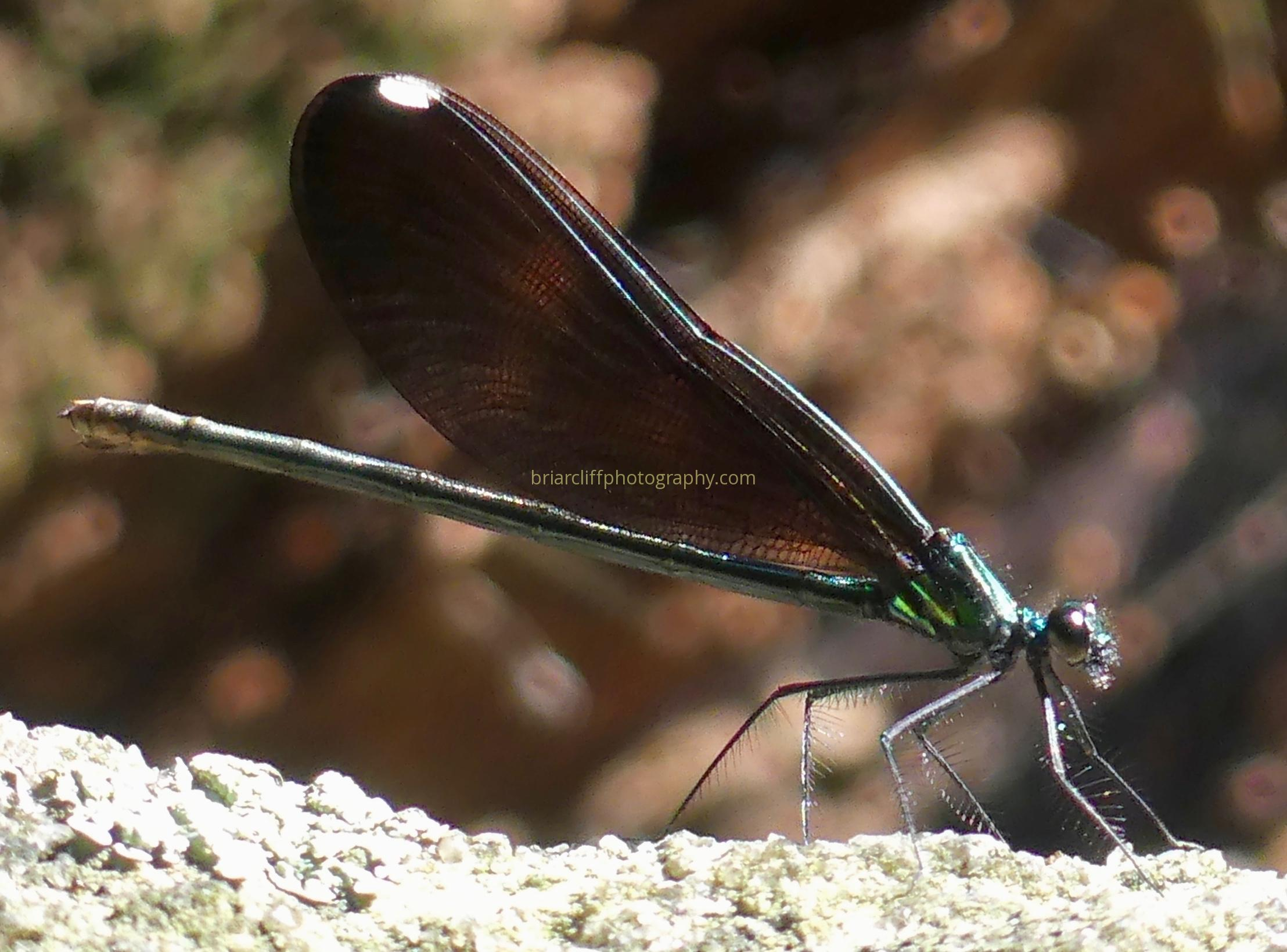 Female Ebony Jewelwing damselfly