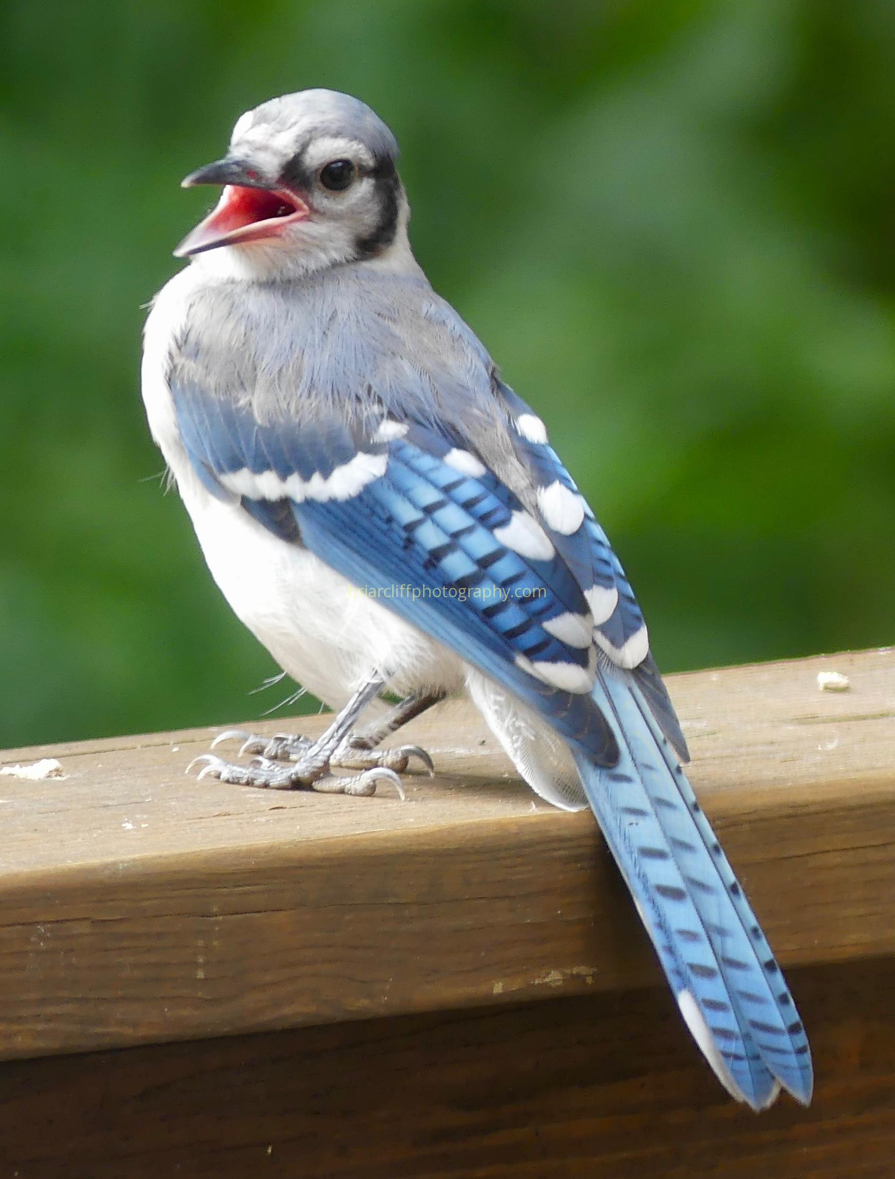 blue jay mouth open
