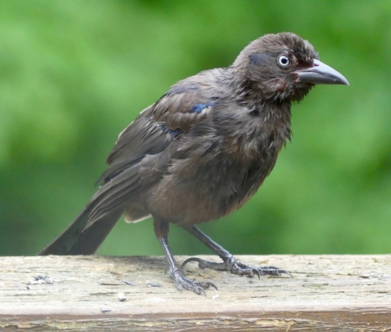 Juvenile Grackle