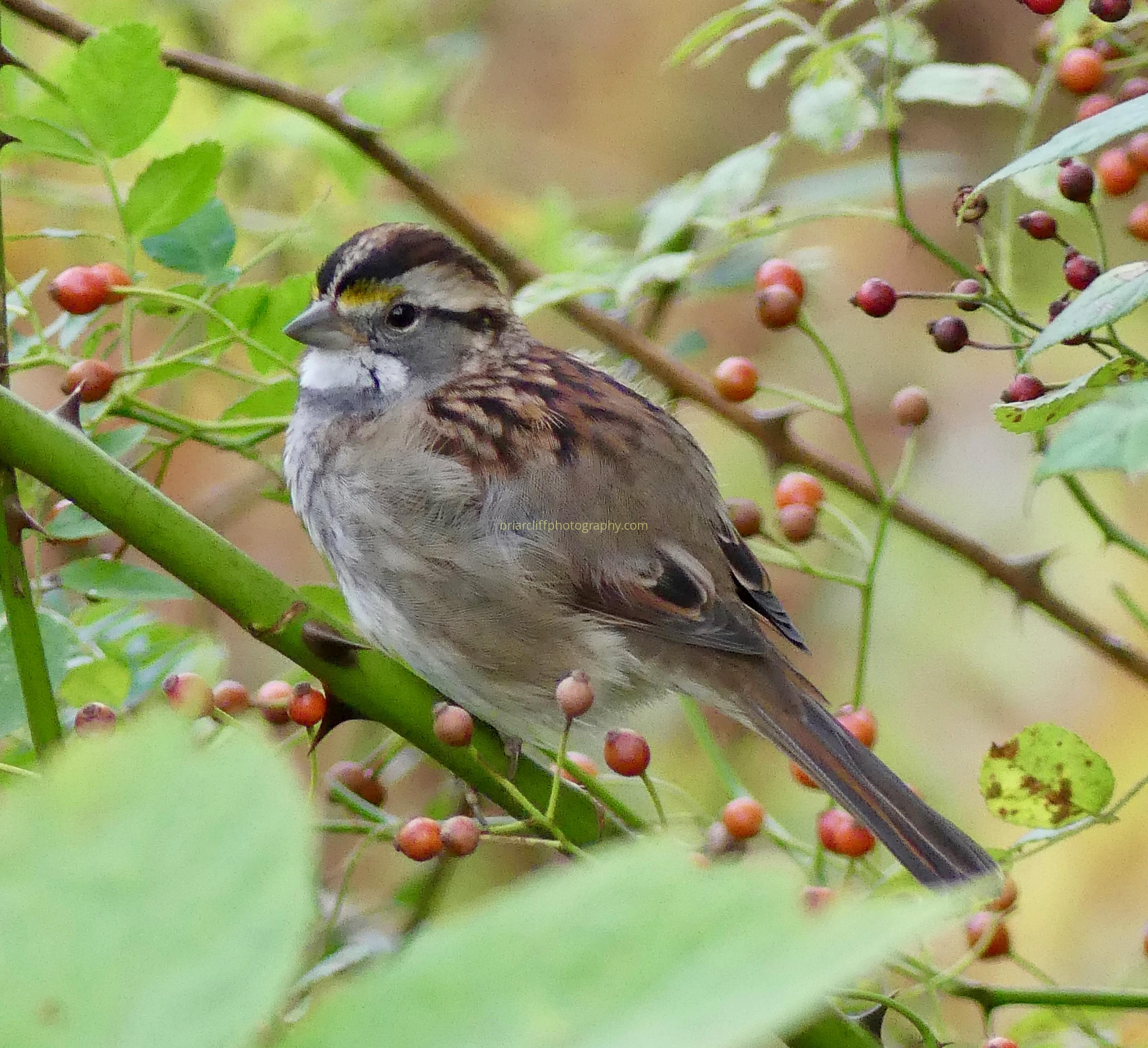 White-throated sparrow with berries