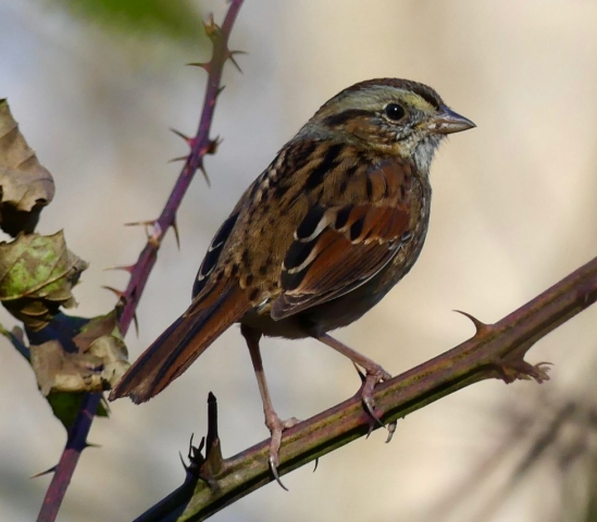 Tan-crowned morph white-throated sparrow