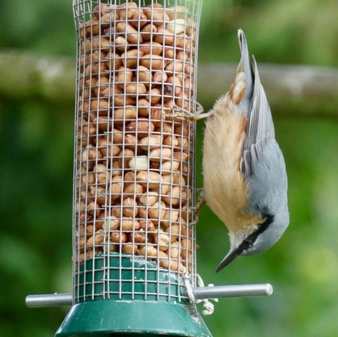 british nuthatch