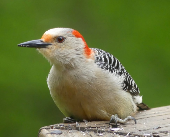 Red-belled woodpecker