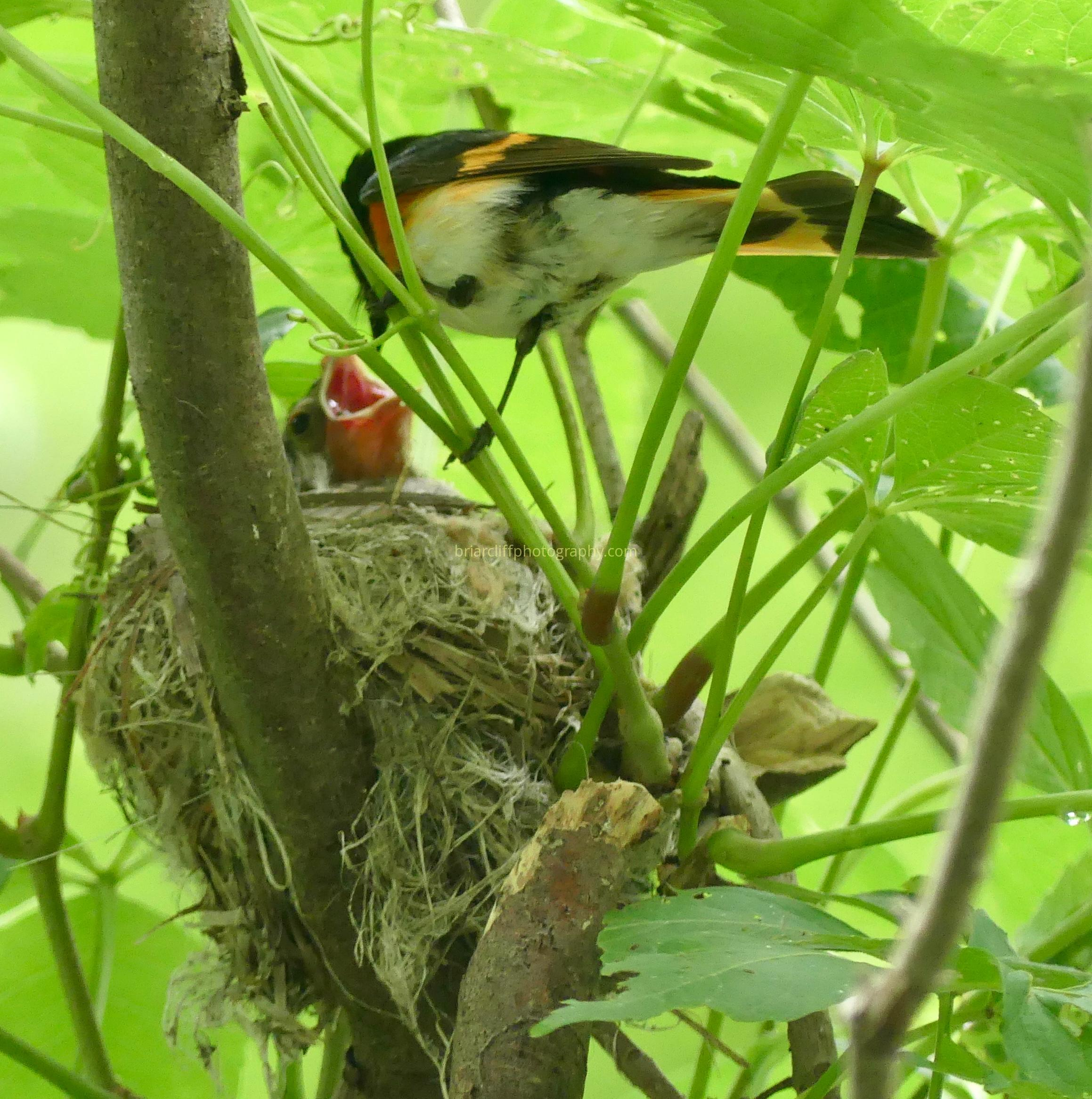 Redstart feeding chicks