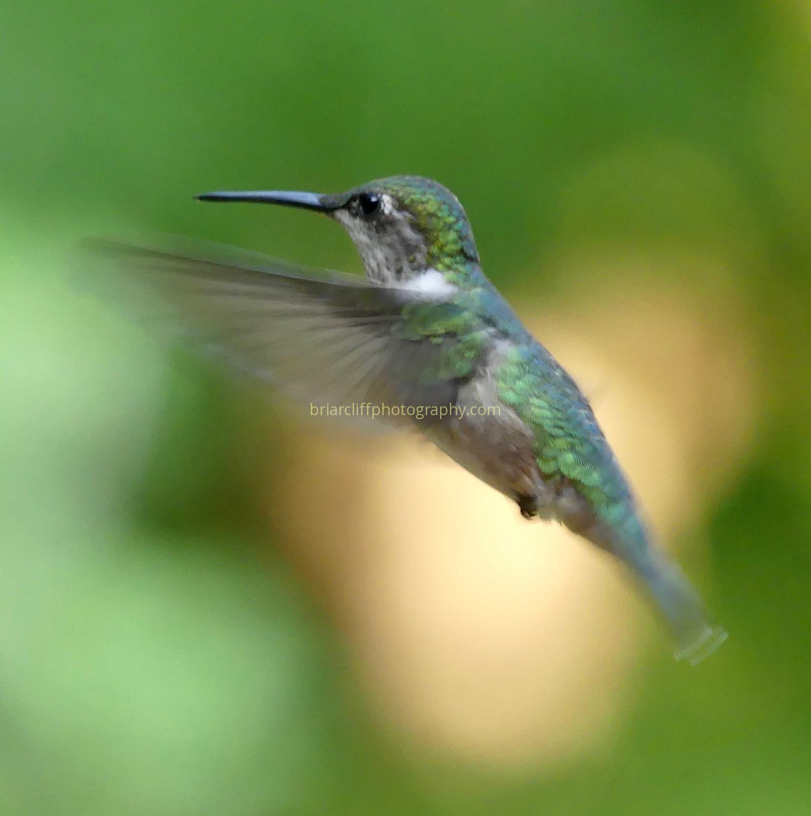 Female ruby-throated hummingbird 2