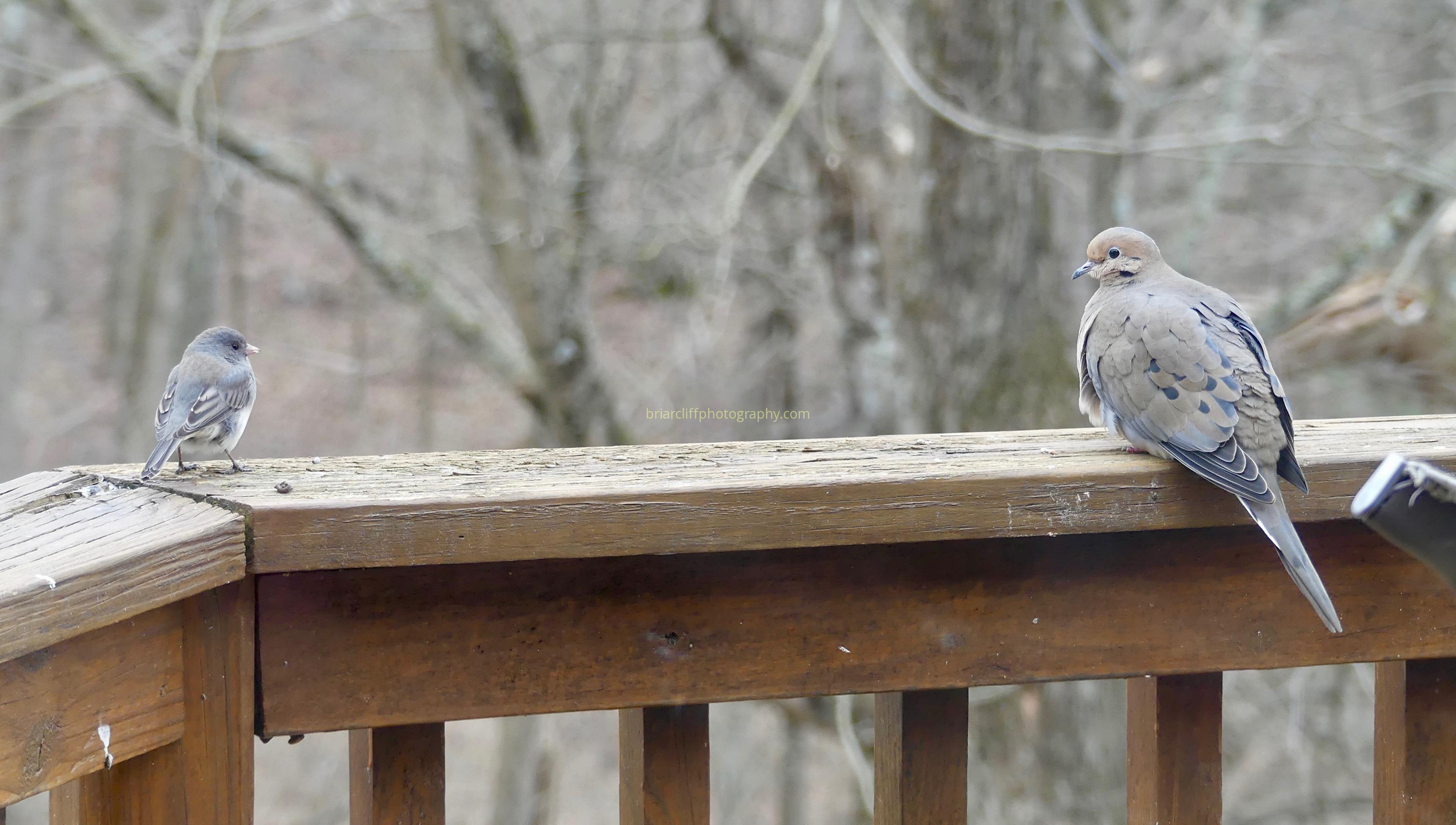 dark-eyed junco, mourning dove